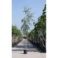 Treur berk Betula pen. Tristis h 350 cm st. omtrek 12 cm