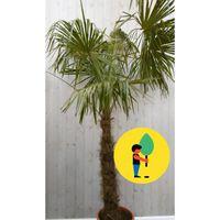 Winterharde Palmboom Trachycarpus Fortunei stamhoogte 100 cm en hoogte