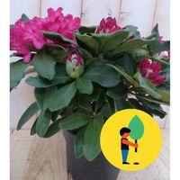 5 stuks Rododendron 60 cm rood