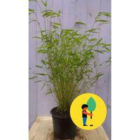 5 stuks Bamboe niet woekerend 100-110 cm