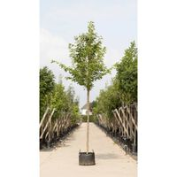 Japanse sierkers Prunus serrulata Kanzan h 550 cm st. omtrek 19 cm