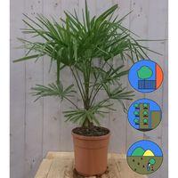 Winterharde Palmboom Trachycarpus Fortunei stamhoogte 20 cm en hoog...